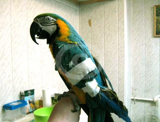 Фото: Сине-желтый Ара Ника после операции в госпитале птиц во время процедур