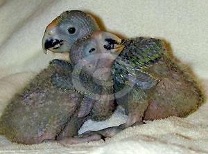 Фото: Птенцы Желтолобого Амазона