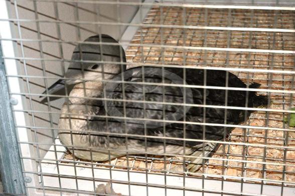 Фото: Чернозобая гагара в клетке больницы птиц