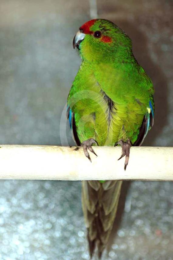 Фото: Новозеландский попугай