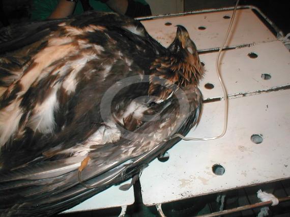Фото: Беркут с гиповолемией. Инфузионная терапия птицы при реанимации