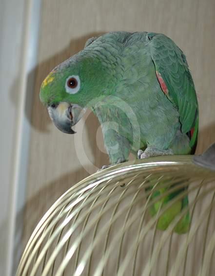 Фото: Амазон Мюллера в гостинице для птиц
