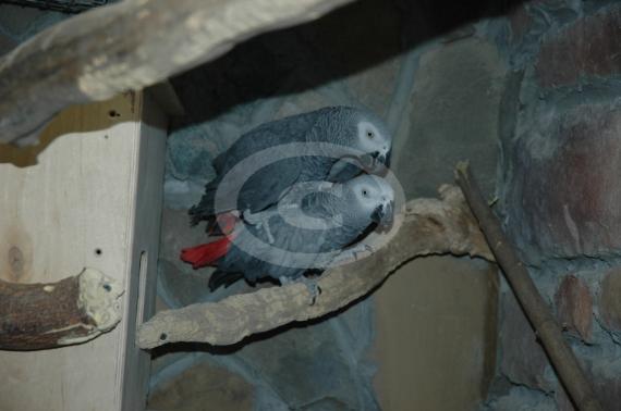 Пара краснохвостых жако при длительном содержании в гостинице начали спариваться и родили птенца.