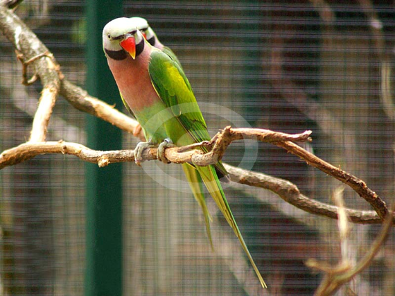 Фото: Большой Кольчатый попугай