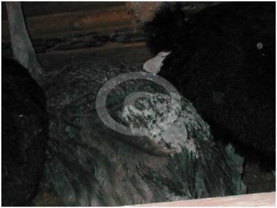 Фото: Трихоптиломания страусов вызванная ограниченным пространством содержания