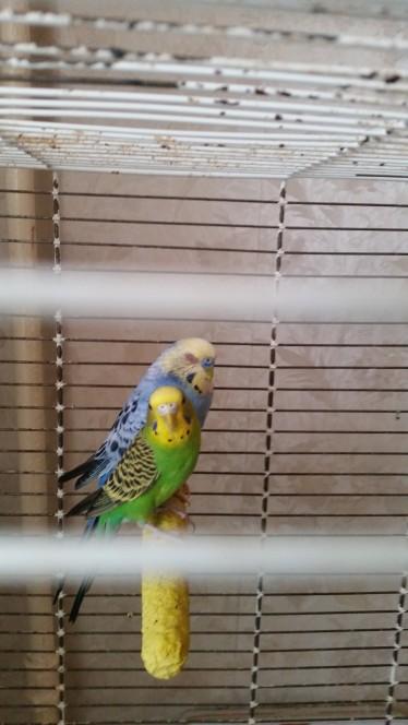 воспалился глаз у волнистого попугая