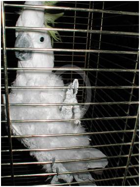 Фото: Трихоптиломания желтохохлого какаду