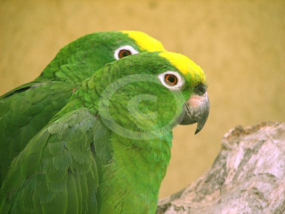 Фото: Желтолобый Амазон