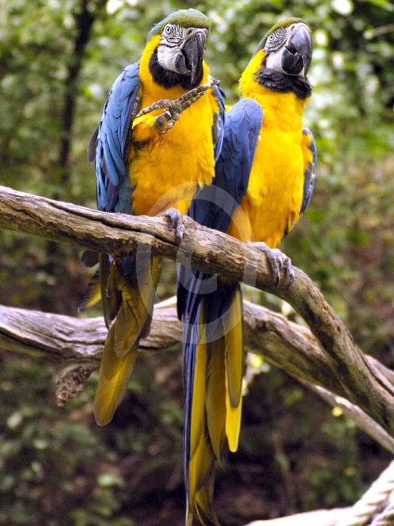 Фото: попугай Сине-Желтый Ара