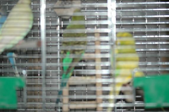 Волнистый попугай тяжело дышит и попискивает