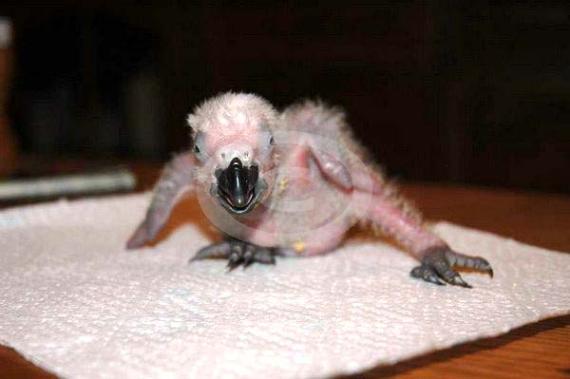 Фото: птенец Жако начинает ходить