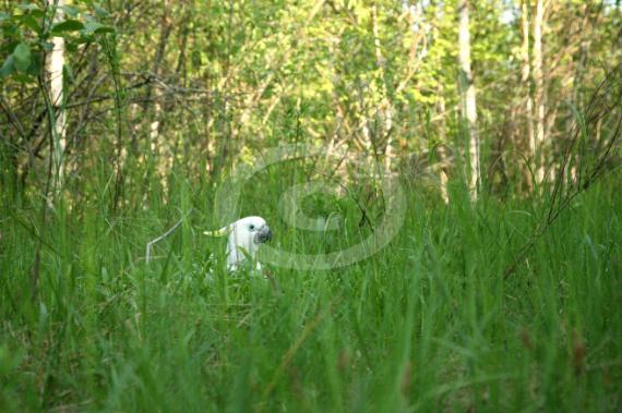 Фото: Желтохохлые какаду встречаются и у нас в Российских джунглях