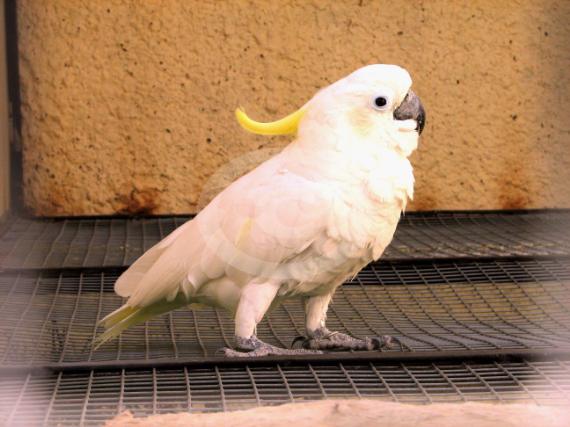 Фото: попугай Желтохохлый Какаду