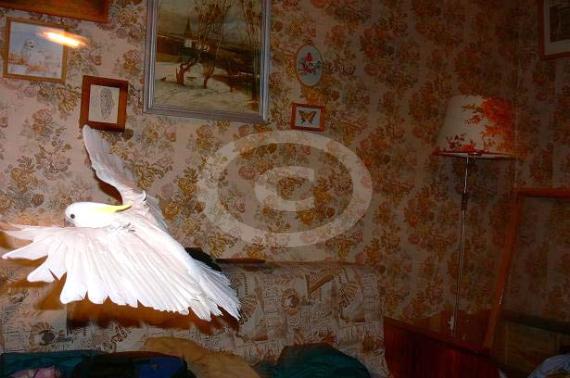 Фото: Какаду так быстро машут крыльями, что порой невозможно заметить их движенья крыльями