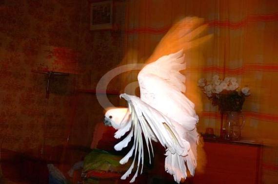 Фото: В квартире желтохохлые какаду выглядят менее естественно, но красиво