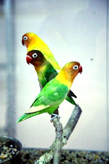 Фото: попугаи Масковый Неразлучник, Взрослый и молодой