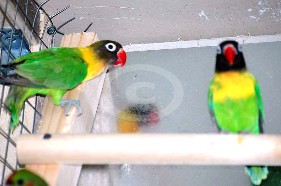 Фото: попугаи Масковый Неразлучник