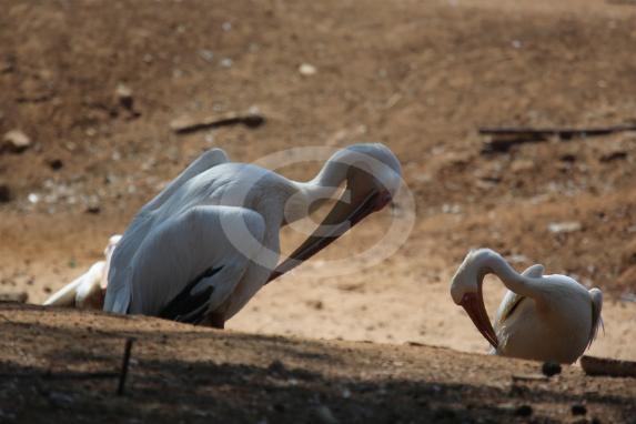 Фото: Pelicanus onocrotalus