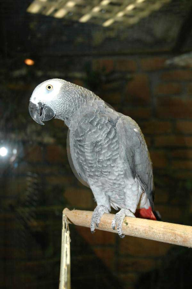 Фото: попугай Жако краснохвостый