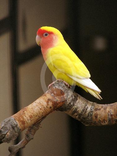 Фото: попугаи Краснощекого Неразлучник