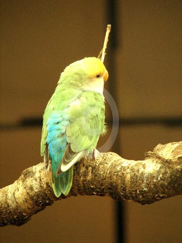 Фото: попугаи Краснощекого