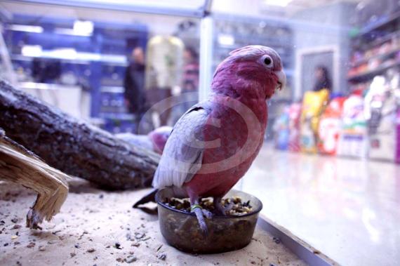 Фото: попугай Розовый Какаду