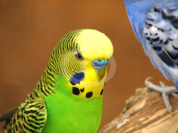 Фото: Волнистый попугай