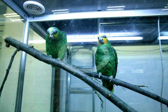Фото: попугай Венесуэльский амазон