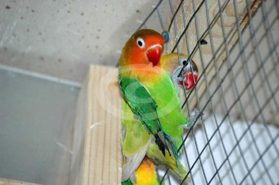 Фото: попугаи Неразлучники Фишера