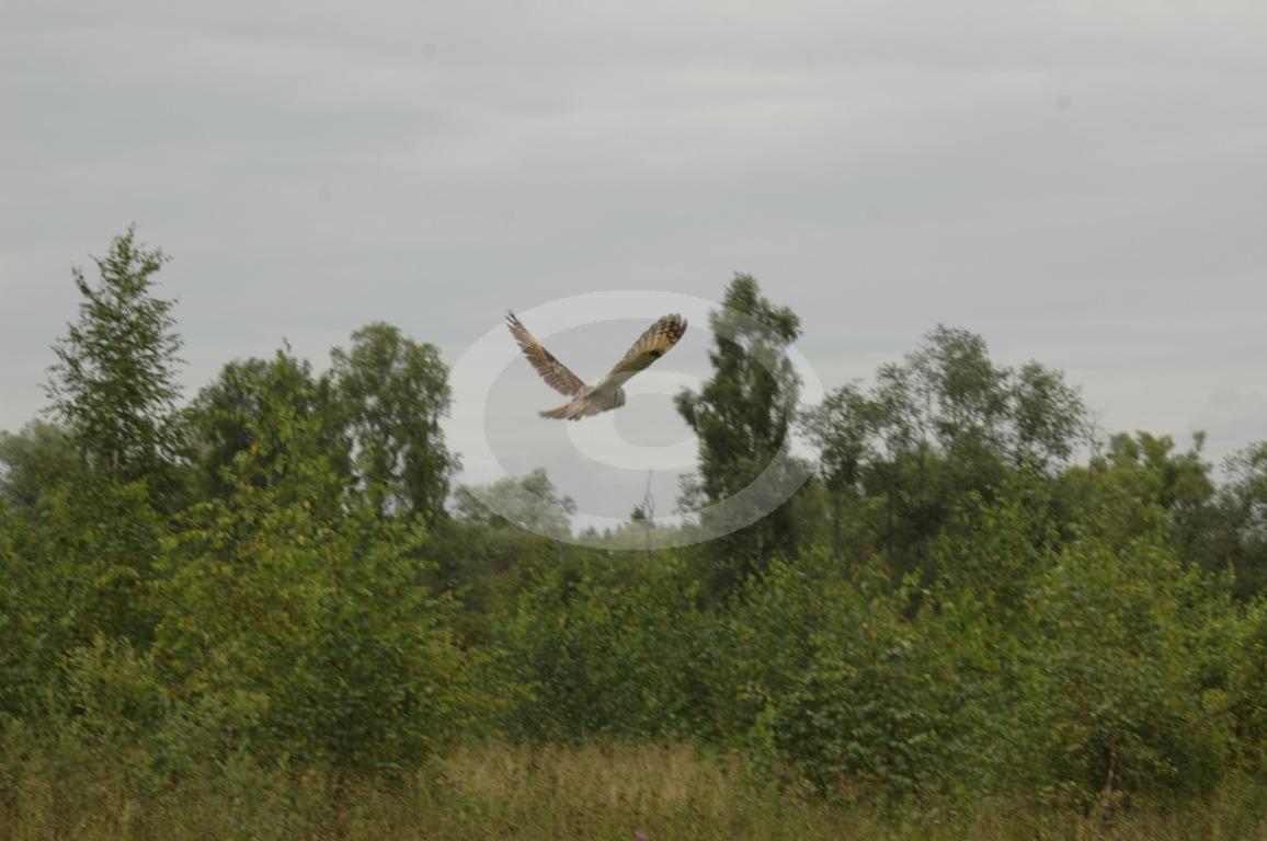 Рис2 Ушастая сова Asio otus в полете в охранной зоне Приокско Террасного заповедника