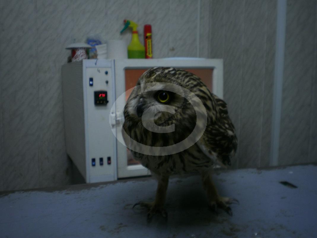 Рис4 Болотная сова во время обследования