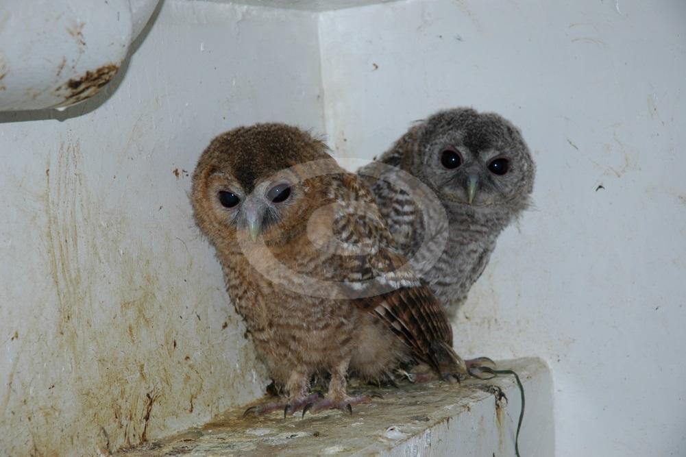 Рис 14 Коричневая (слева) и серая (справа) морфа серой неясыти (из числа принесенных к нам птенцов).