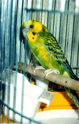 Фото: Поражение кнемидокоптозом визуализируется в виде губчатых наростов на клюве и лапках, и разрастания клюва, также деформации подвергаются когти птицы