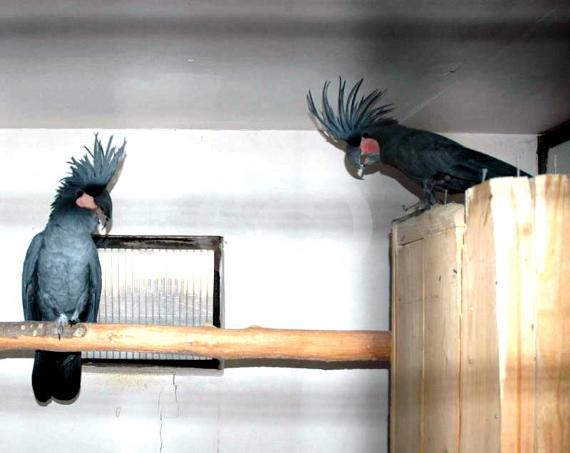 Фото: Попугай Черный какаду