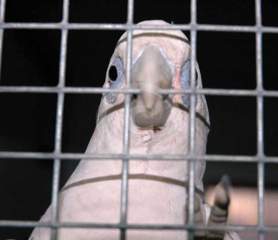 Фото: Попугай Гологлазый какаду