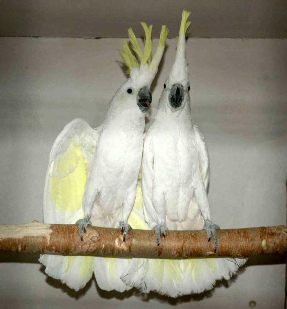 Фото: Попугаи Желтохохлые Какаду