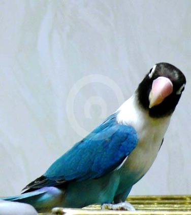 Фото: Продукт селекции масковых неразлучников- порода- голубой неразлучник