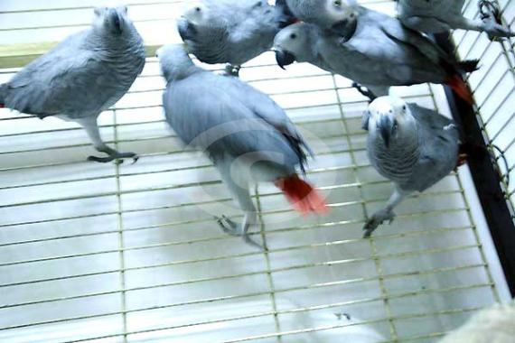 Фото: Молодых диких краснохвостых жако привозят на продажу в России на основании СИТЕС и оформленной ветеринарной документации. Птицы сидят в сформированных группах по 10 птиц. Первой задачей для приручения жако является отделение птицы и высаживание ее в отдельную клетку