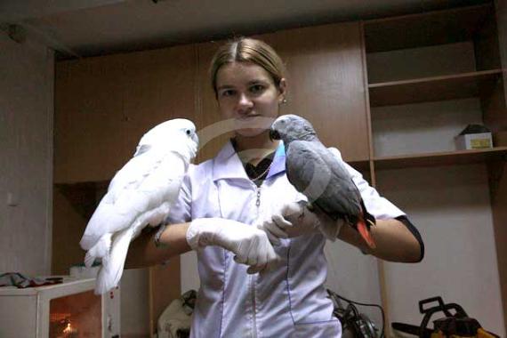 Фото: В процесе приручения иногда полезно выводить двух попугаев рядом (при этом второй попугай должен быть уже ручным). Приручаемая птица начинает копировать поведение своего товарища и еще больше успокаивается