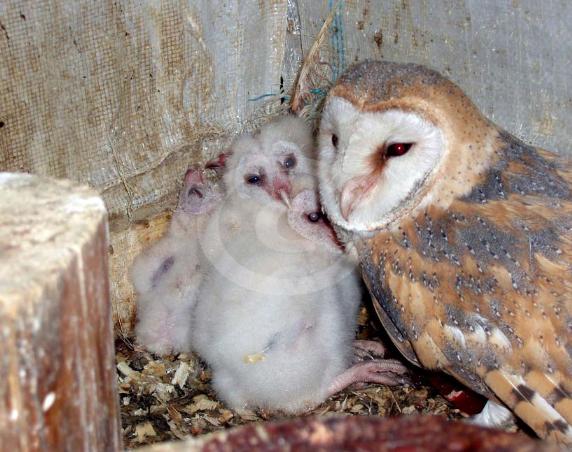 Фото: Птенцы Совы