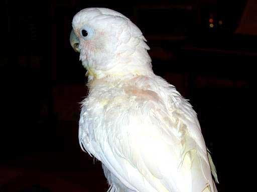 Фото: Нарушение кальциевого обмена у какаду Гоффина Самоощипывание. Деформация пера